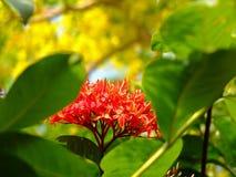 kwiaty ixora Fotografia Stock