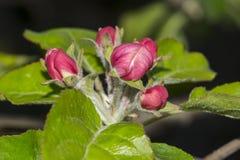 Kwiaty jabłko Zdjęcia Royalty Free