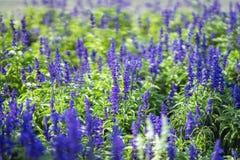 Kwiaty jak lawenda w ulicznym flowerbed na słonecznym dniu, botaniczny tło, pojęcie sezony, pogoda zdjęcie royalty free