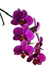 Kwiaty jaskrawa czerwona orchidea odizolowywająca Obraz Stock