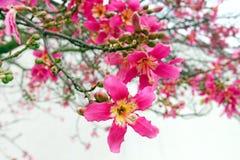 Kwiaty Jedwabniczy Floss drzewo Fotografia Stock