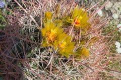 kwiaty kaktusa żółty Obraz Royalty Free
