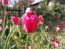 Kwiaty, kolor, wiosna, menchia, tulipan, tła, płatek, pojedynczy Zdjęcie Stock