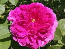 Kwiaty, kolory, płatki, wzrastali, czerwień, one wałkonią się, natura, pojedyncza, świętowania, zbliżenie, przedmioty, liść Obraz Stock
