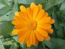 Kwiaty, kolory, pomarańcze, nagietek, pole, płatek, natura odosobniona, pojedynczy, roślina, głowa, lato, przedmioty, piękno, kol Obrazy Royalty Free