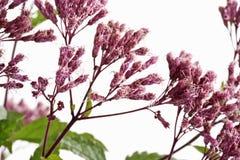 Kwiaty konopiany agrimony Obrazy Stock