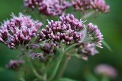 Kwiaty konopiany agrimony Fotografia Stock