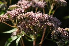 Kwiaty konopiany agrimony Zdjęcie Stock