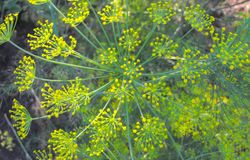 Kwiaty koper Fotografia Royalty Free