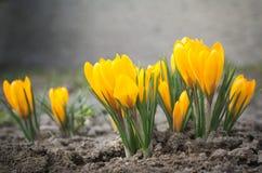 kwiaty krokus żółty Obrazy Royalty Free