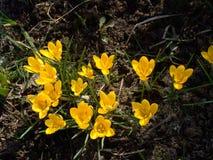 kwiaty krokus żółty Zdjęcie Stock
