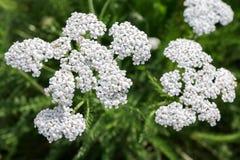 Kwiaty krwawnik Achillea Millefolium fotografia stock