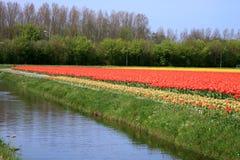 kwiaty kształtują teren holandii wiosna tulipany Zdjęcia Royalty Free
