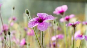 Kwiaty, kwiat Ogrodowy, Naturalny, Backround Obrazy Royalty Free