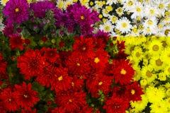 Kwiaty kwiatu makro- płatków fotografii pistil różanych stamens super biel Biel z rosą obraz stock