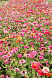 Kwiaty - kwiatu pole zdjęcie stock