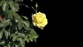 Kwiaty kwitnące róże odizolowywać zdjęcie wideo