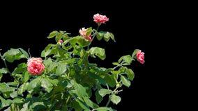 Kwiaty kwitnące róże odizolowywać zbiory