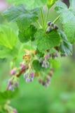 Kwiaty kwitnący porzeczkowy dorośnięcie w jawnym ogródzie Obraz Stock