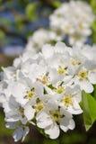 Kwiaty kwitnęli bonkrety Zdjęcie Stock
