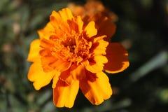 Kwiaty kwitnęli nagietki Obraz Stock