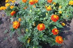 Kwiaty kwitnęli nagietki Zdjęcie Stock