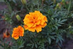 Kwiaty kwitnęli nagietki w ogródzie Obrazy Stock