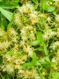 Kwiaty kwitnie drzewnego lipowego drewno, używać dla przygotowania leczniczy herbaciany naturalny tło Kwiatonośnego wielkiego liś zdjęcie stock