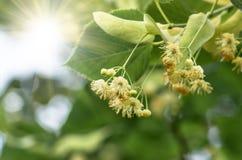Kwiaty kwitnie drzewnego lipowego drzewa, wiosna Obrazy Stock