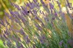 kwiaty lawendy Obraz Stock