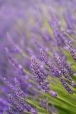 kwiaty lawendy Zdjęcie Stock