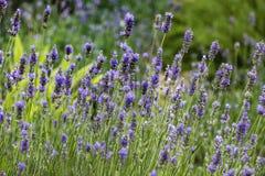 kwiaty lawendy tło Zdjęcia Royalty Free