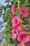 Kwiaty ślaz 7 Obrazy Stock