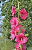 Kwiaty ślaz 14 fotografia stock
