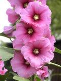 kwiaty ślaz Fotografia Stock