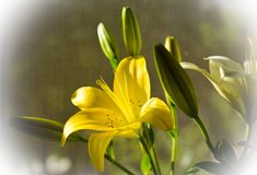 kwiaty, leluja Obraz Stock