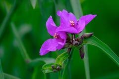 Kwiaty lila tradeskancja w lecie uprawiają ogródek obraz stock