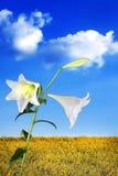 kwiaty lilly zdjęcie stock