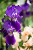 Kwiaty lily irys Fotografia Royalty Free