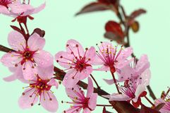 Kwiaty śliwka Zdjęcia Royalty Free