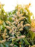 Kwiaty longan Obrazy Stock