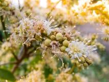 Kwiaty longan Fotografia Stock