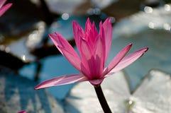 kwiaty lotosu Zdjęcie Royalty Free