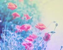 Kwiaty maczek w miękkich części menchiach zaświecają Fotografia Royalty Free