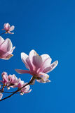 kwiaty magnolii Obraz Royalty Free