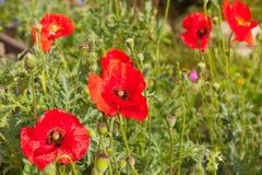 Kwiaty makowego ziarna strąki Zdjęcie Stock