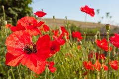 Kwiaty makowego ziarna strąki Fotografia Royalty Free