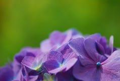 kwiaty makro purpurowy obraz royalty free