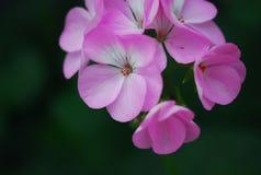 kwiaty makro purpurowy zdjęcie royalty free