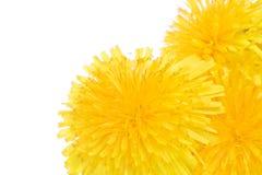 kwiaty mniszek makro drzewa zdjęcia royalty free